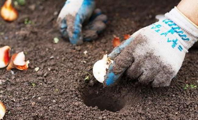 Глубина посадки луковиц тюльпанов зависит от их величины и характера почвы