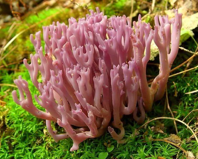 Коралловый гриб занесен в Красную книгу