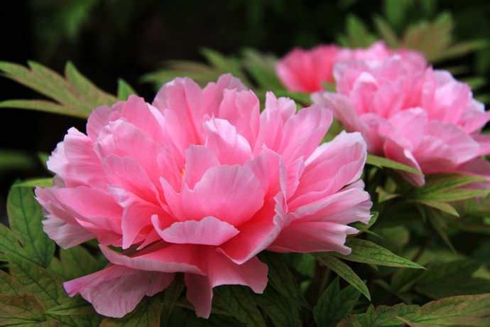 Соблюдение правил ухода за пионами поможет дачнику сберечь этот поистине королевский цветок