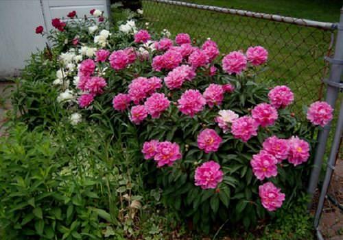 Пионы на зиму сохранить стремятся все садоводы