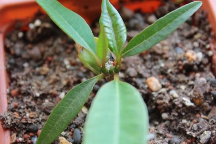 Плюмерию довольно легко вырастить из семян