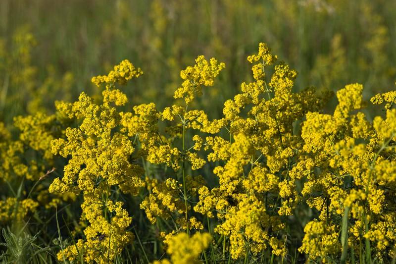 Подмаренник — растение из рода травянистых или полукустарничковых однолетников, двулетников и многолетников
