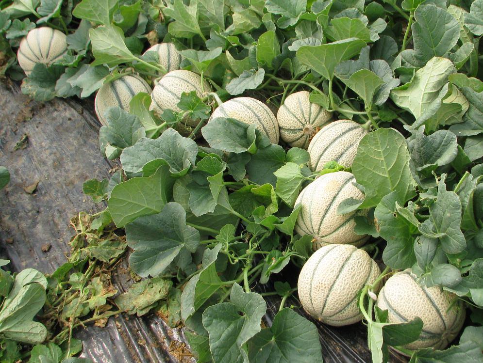 Южные регионы считаются самым лучшим поселением для выращивания дынь на открытом грунте
