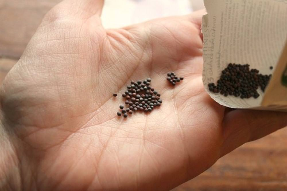 Посадке капусты предшествует выбор семян, который напрямую зависит от климатических особенностей региона