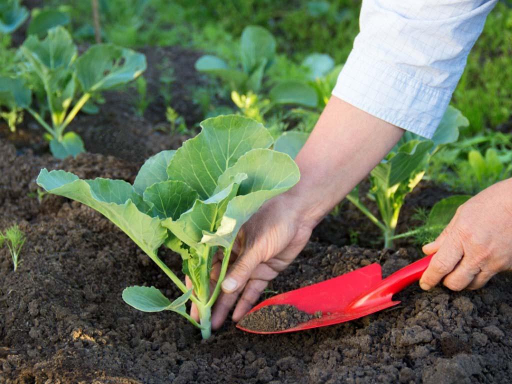 Сеять саженцы капусты в открытый грунт можно в определенные дни