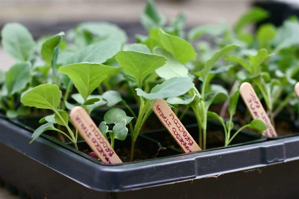 Саженцы капусты подрастают в течение 2 месяцев