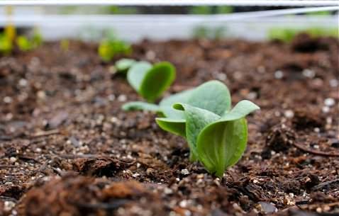 Выращивать тыкву достаточно просто