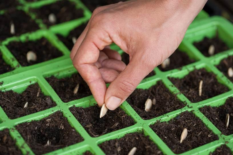 На рассаду сеять посевной материал тыквы можно в апреле-мае