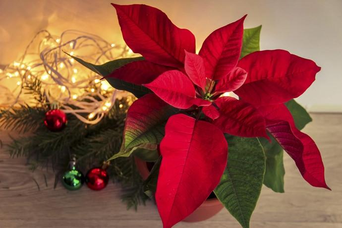 Грамотный уход за пуансеттией в домашних условиях обеспечивает цветение в декабре, накануне Нового года