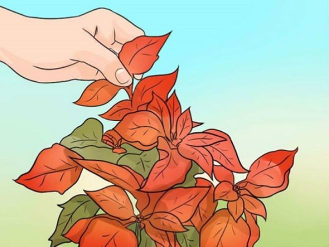 Горшечные пуансеттии высаживают в мае-июне, прищипывают, оставляя 4–5 листочков