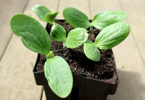 О сроках высадки рассады и посева семян кабачков в открытый грунт можно узнать из лунного календаря