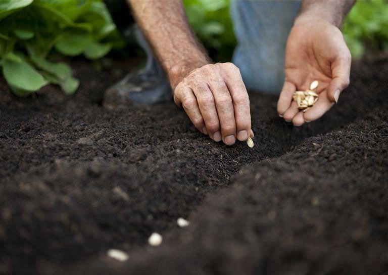 При посеве семян в открытый грунт следует помнить, что почва должна прогреться на глубину около 10 см