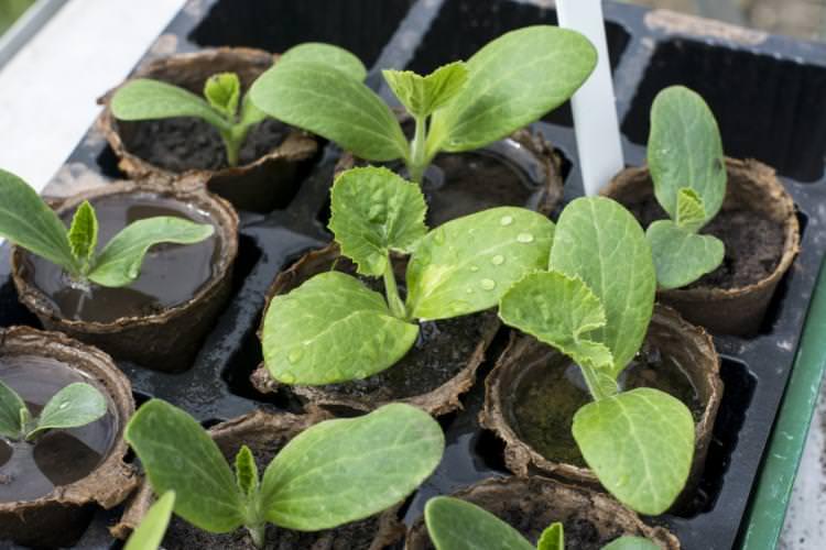 Для высаживания семян кабачков лучше использовать одноразовые стаканчики