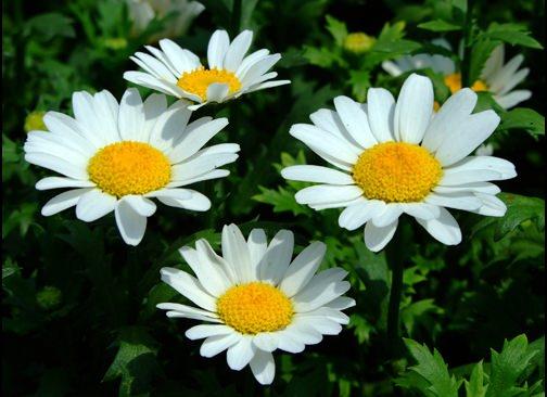 Ромашка садовая представляет собой травянистый многолетник, относящийся к роду ромашек и семейству астровых