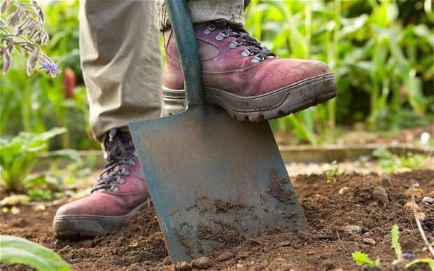 Перед посадкой ромашки садовой нужно хорошо вскопать выбранный участок и засыпать его перегноем из расчета одно ведро на один квадратный метр