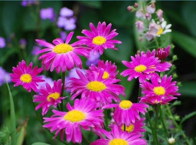 Персидская ромашка очень похожа по типу на садовую ромашку, но имеет цветные лепестки