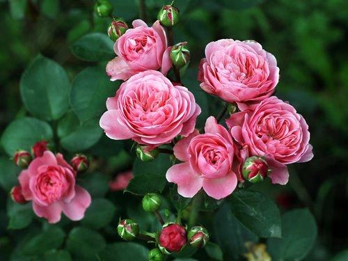 Розы Флорибунда высаживают практически в каждом саду