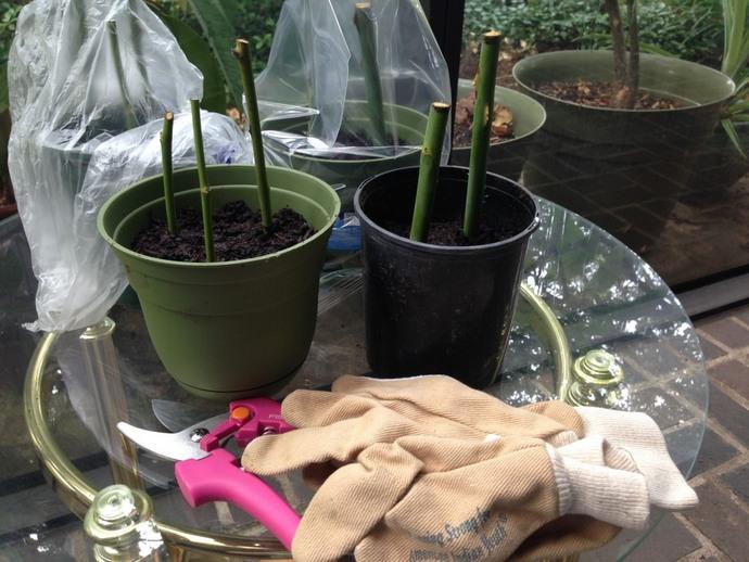Чаще всего для размножения розы Флорибунда используют метод черенкования