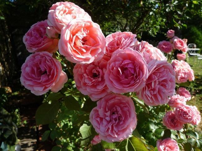 Розу Флорибунда можно высаживать как солитер или использовать в одиночной посадке