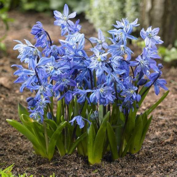 Сцилла зацветает весной одна из первых