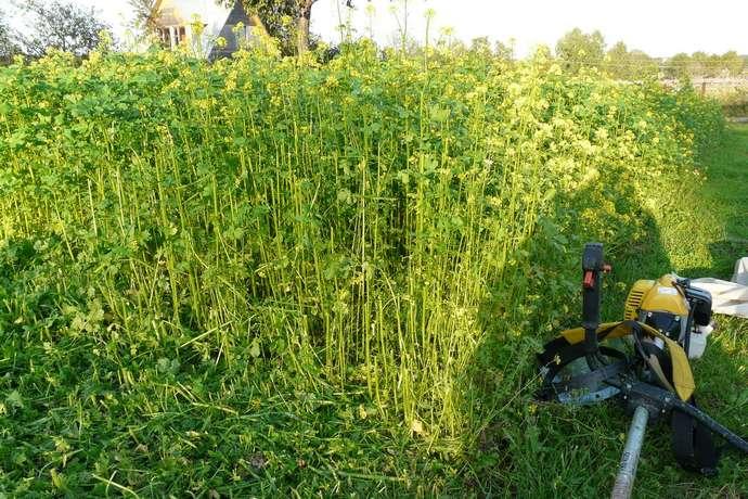 Основным назначением сидератов является обогащение почвы органическими компонентами и полноценным азотом