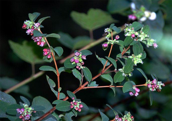 Наблюдать цветение снежноягодника можно в середине или конце лета