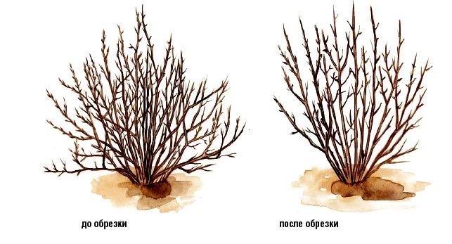 Снежноягодник легко переносит процедуру обрезки, которая производится ранней весной, когда ещё не началось движение сока
