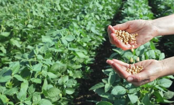 Соя нетребовательна к составу почвы, хорошо растёт в грунте с низким уровнем кислотности