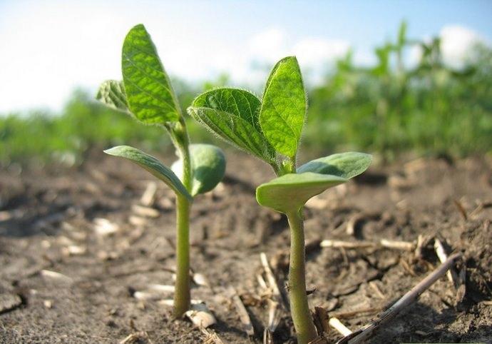 Территория, предназначенная для посадок сои, должна располагаться вдали от влажных мест и болот