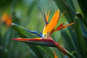 Стрелицию в обиходе называют райская птица