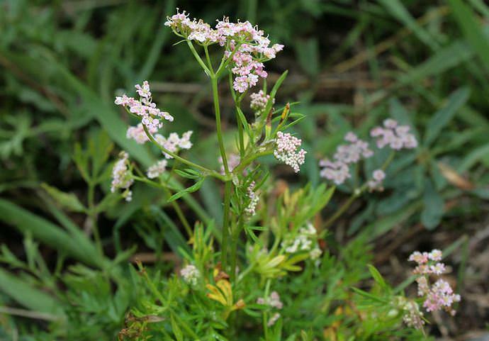 Тмин обыкновенный – это зонтичное растение с белыми, мелкими цветками