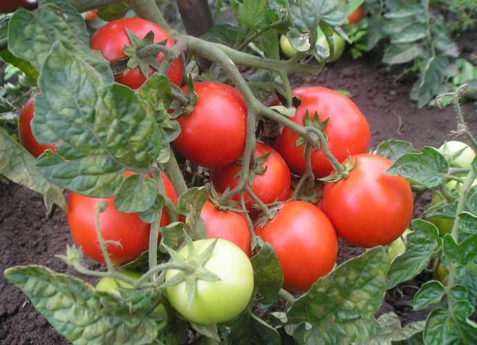 Почвенные и климатические условия Урала не слишком подходят для того, чтобы выращивать томаты на грядах открытого грунта, поэтому к выбору сорта нужно подойти очень грамотно