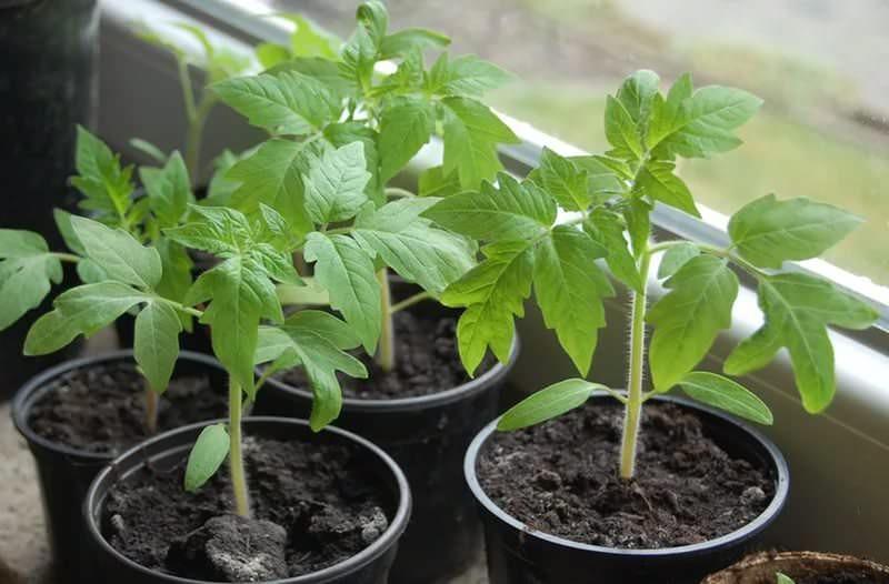 Высаживать помидоры в теплицу на Урале рекомендуется рассадой