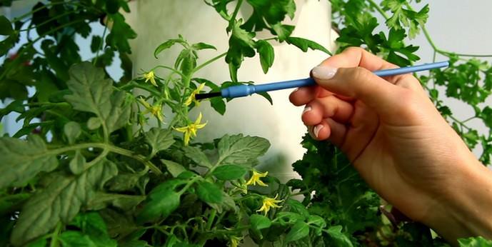 В тепличных условиях рекомендуется осуществлять ручное опыление томатов