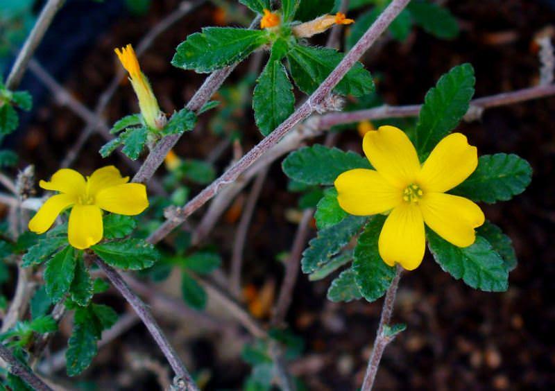 Период цветения тернеры приходится на раннюю весну
