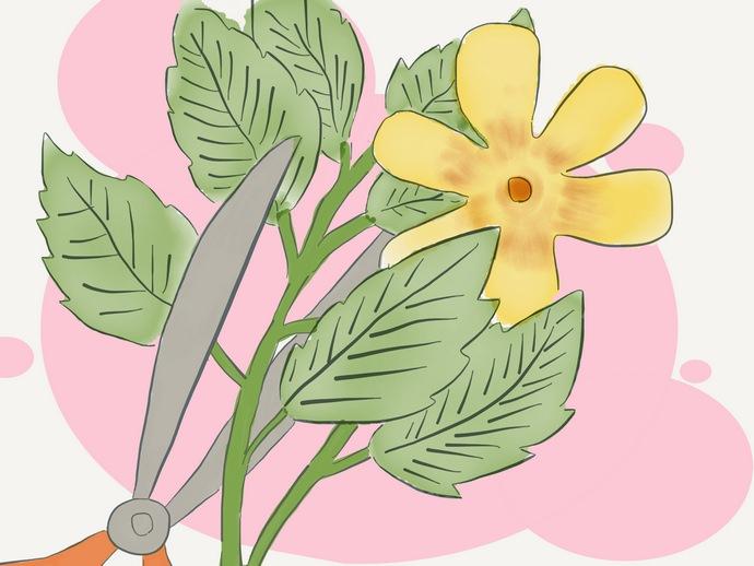 Сбор дамианы осуществляют от начала цветения и вплоть до плодоношения