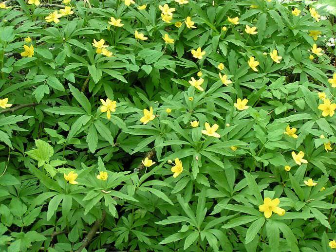 Листья дамианы можно использовать при устранении диспепсии