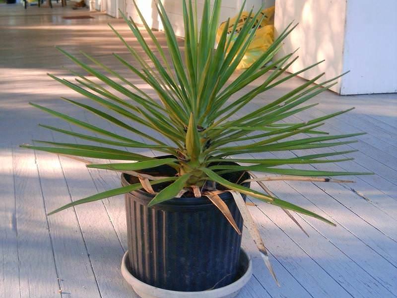 Чтобы сохранить высокую декоративность растения и облегчить мероприятия по уходу, цветочный горшок нужно устанавливать на окнах южной стороны здания
