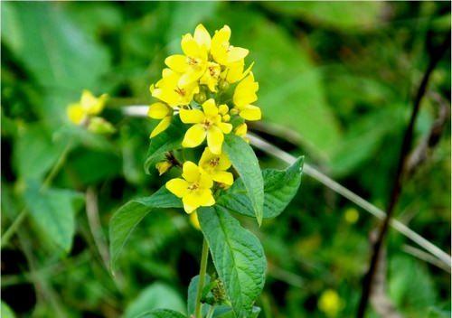 Вербейник – род красивых и неприхотливых растений, способных внести яркие краски в дизайн каждого участка
