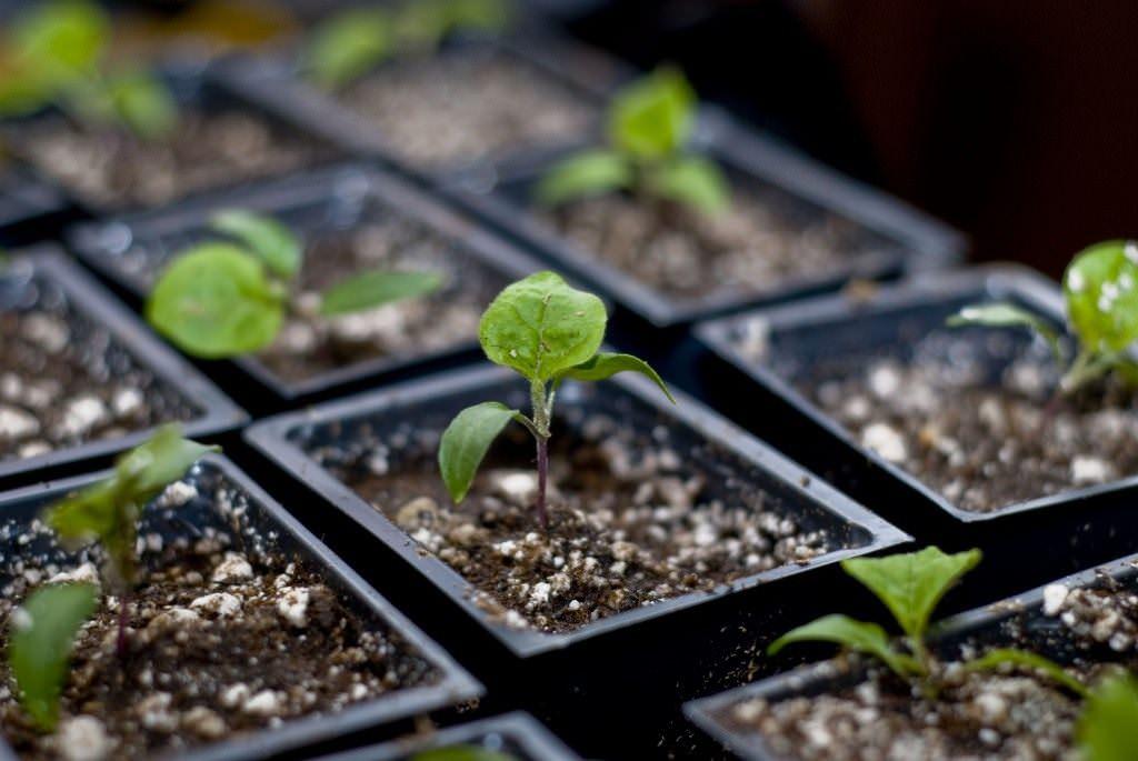 Баклажан хорошо произрастает в специальном грунте
