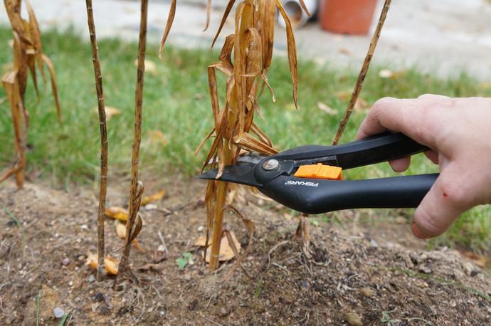 В октябре подрезают стебли лилий на высоте в 15 см