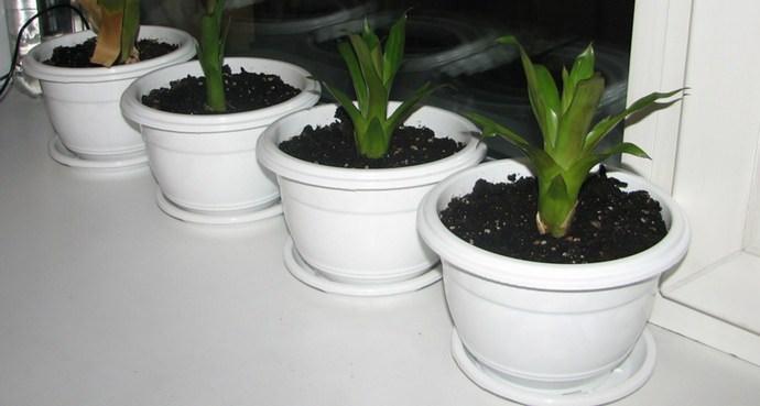 Вриезию размножают с помощью семян или отростков