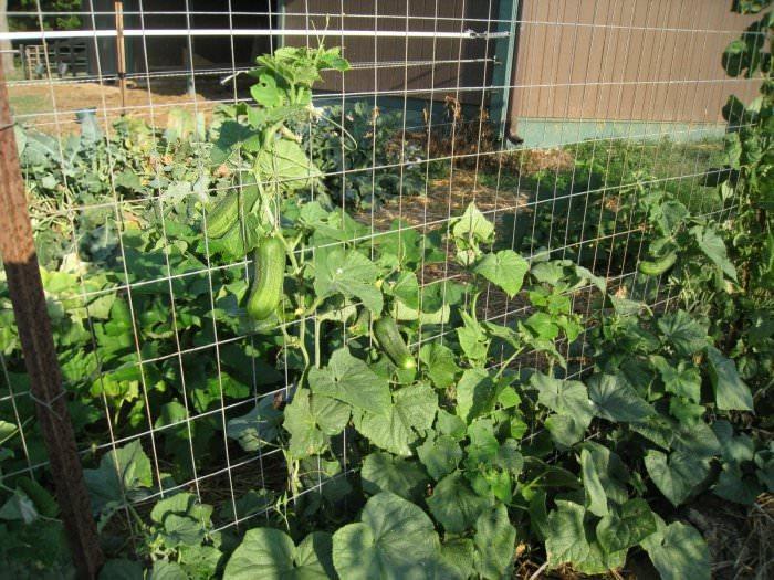 Сетка для выращивания огурцов является практически идеальным вариантом, позволяющим сформировать здоровое растение и гарантирующим получение хорошего урожая
