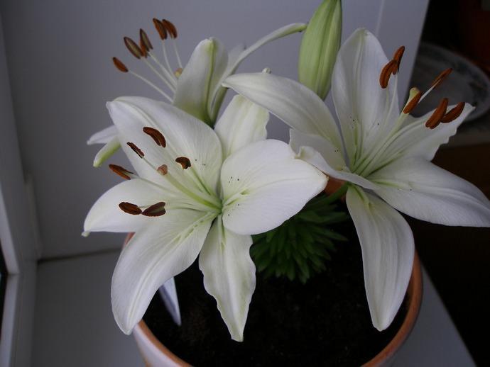 Выращивать комнатную лилию не сложно – достаточно правильно соблюдать агротехнику на всех этапах вегетации