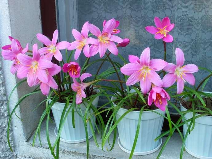 Зачастую любители комнатных растений не жалуются по поводу ухода за Выскочкой
