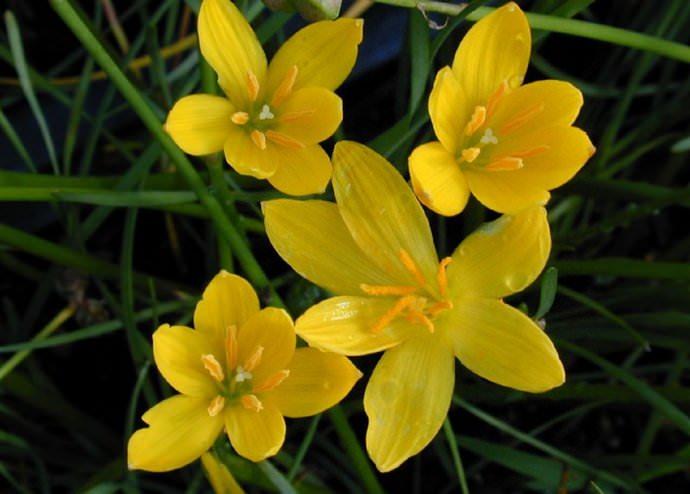 Отличительная особенность сорта золотистый зефирантес — цветение наступает с приходом зимы