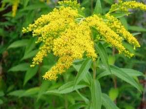 Золотарник обыкновенный, травянистое растение принадлежащее семейству сложноцветных