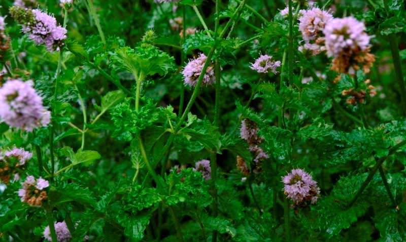 Курчавая мята – культурное растение, обладающее приятным запахом и нежным вкусом, без привкуса ментола
