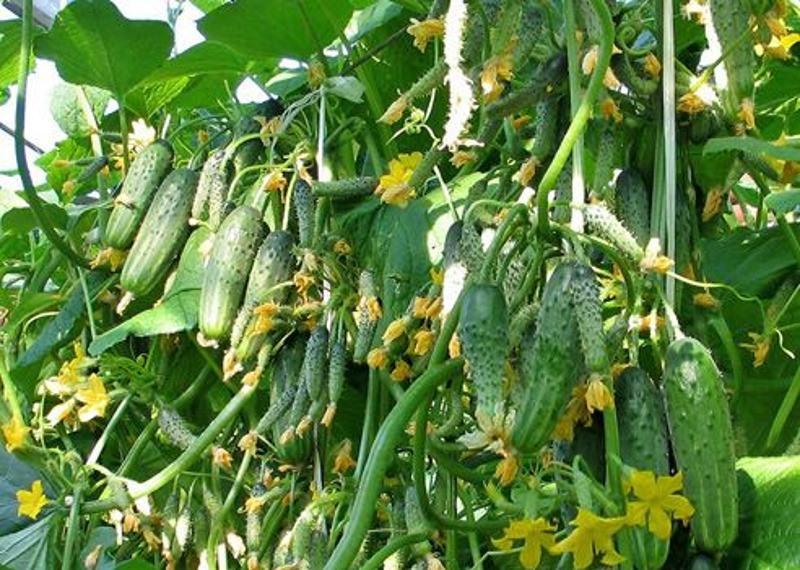 Для того чтобы получился запланированный дачником урожай, необходимо правильно подобрать сорт огурцов с учетом множества факторов