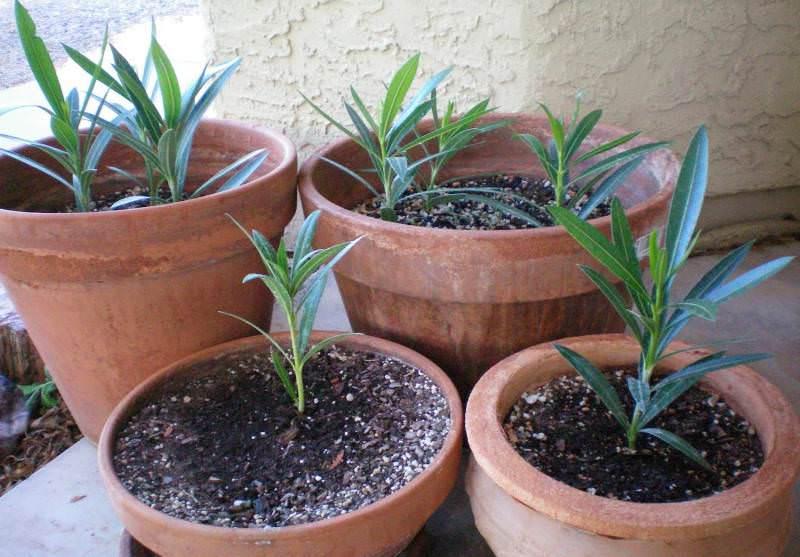 Молодые кустарники олеандра пересаживают ежегодно